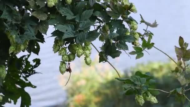 Gyönyörű zöld komló. komlólevél és szőlő