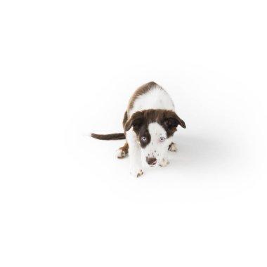 Cute mismarked red tri Miniature Australian Shepherd puppy isolated on white.