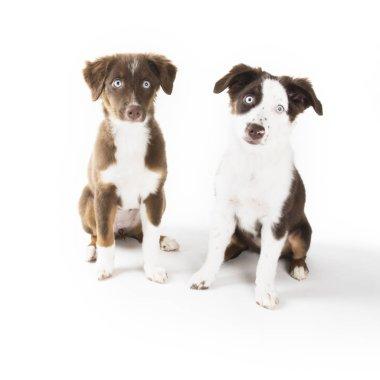 Two cute Miniature Australian Shepherd puppies isolated on white.