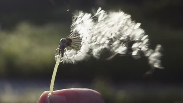 foukání Pampeliška semena. létající Pampeliška semena proti jasné slunce. Zpomalený pohyb