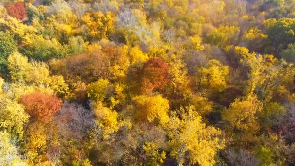 AERIAL: Flying above the stunning colorful treetops on sunny day. orange and red forest on sunny autumn day. Fall