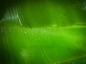 Fotografie Textured green banana leaves as background
