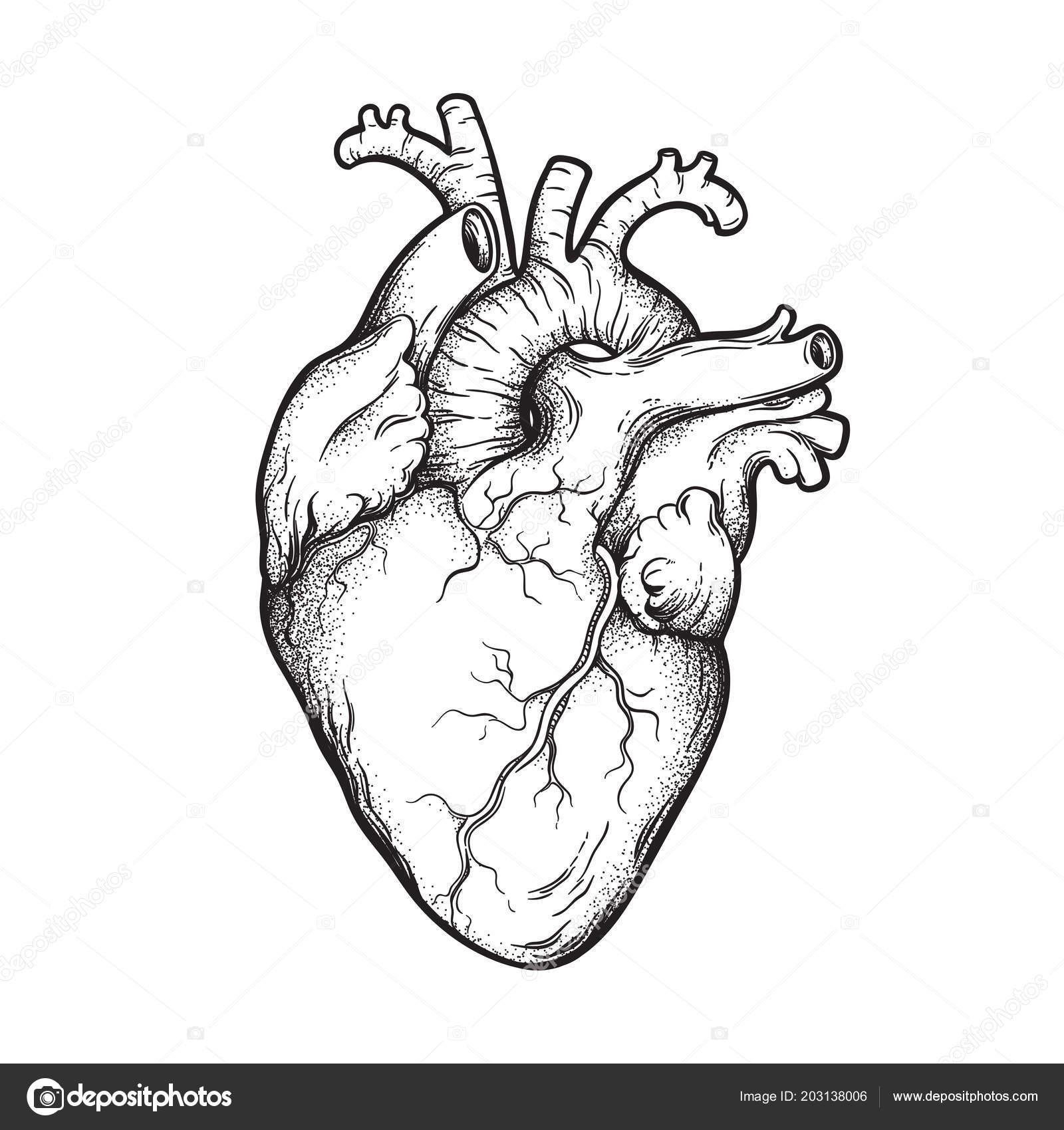 Dessin Trait Coeur Humain Anatomiquement Correcte Dessinés