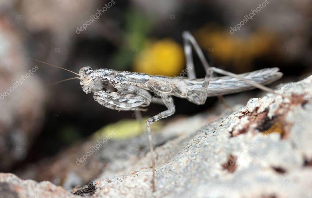 Camouflaged grasshopper on a rock