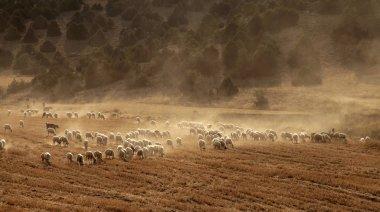 """Картина, постер, плакат, фотообои """"Овцы пастбища на поле"""", артикул 205625326"""