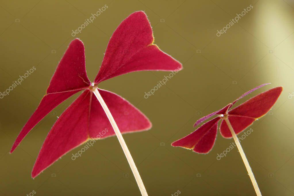 Red Clover, Oxalis triangularis