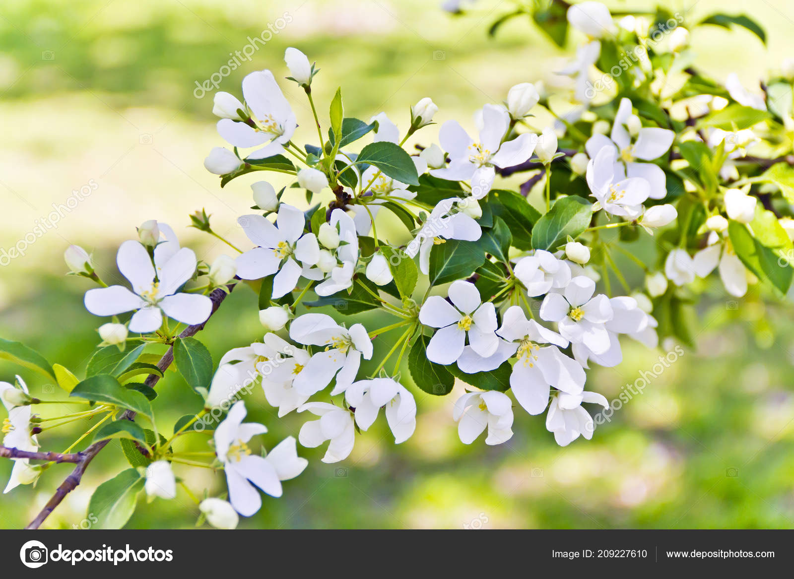 Green branch white apple flowers spring time stock photo green branch white apple flowers spring time stock photo mightylinksfo