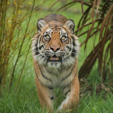 Stunning portrait of tiger Panthera Tigris walking through long grass in vibrant landscape