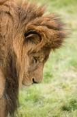 Ohromující obraz intimní portrét krále džungle paovce Atlas Lion Panthera Leo