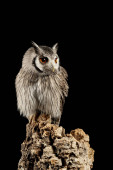 Photo Stunning portrait of Southern White Faced Owl Ptilopsis Granti i