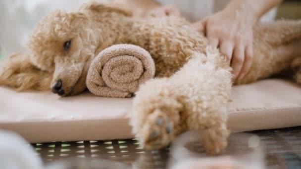 Žena dává celotělová masáž psa. Lázně Zátiší s aromatické svíčky, květiny a ručník.