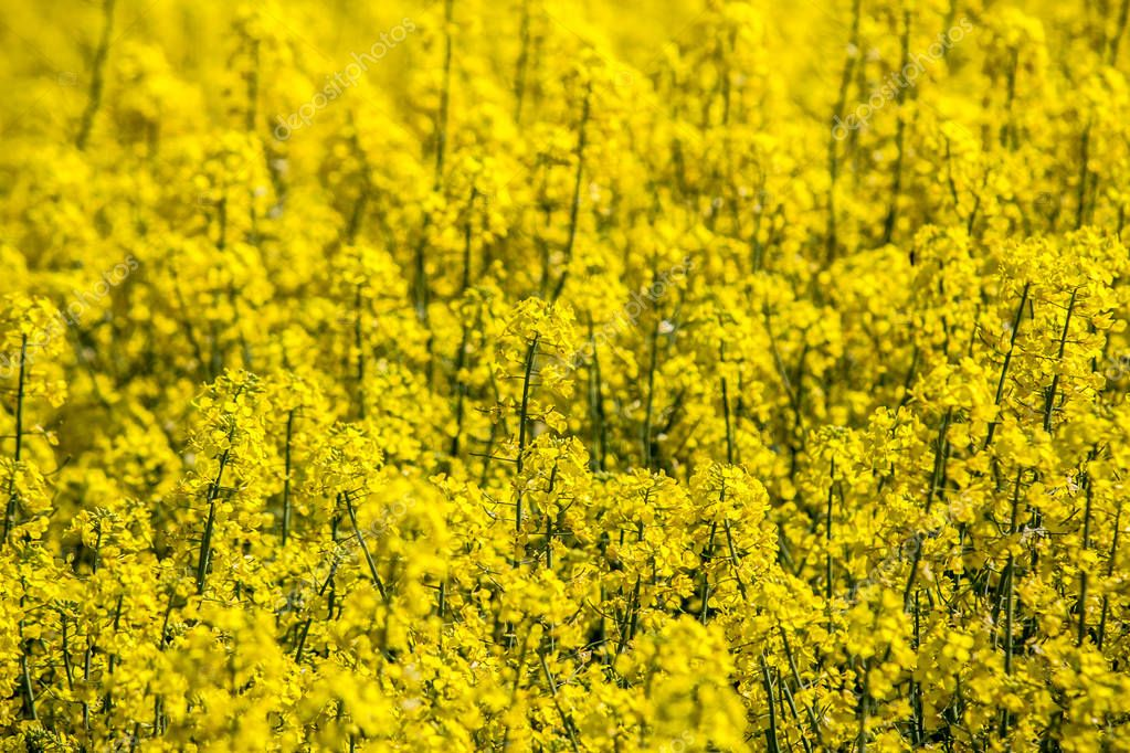 Colorful field of blooming raps