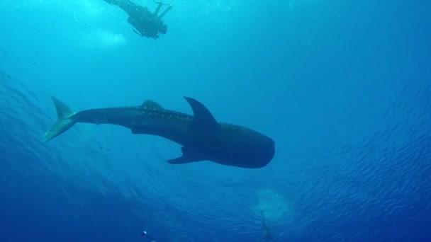 Riesiger Walhai im oberflächennahen Meer