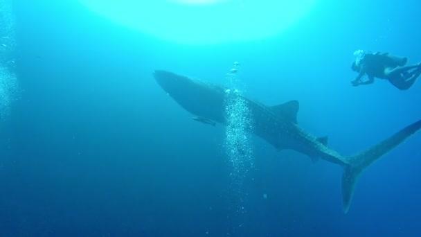 Óriás bálna cápa a tengerben a felszín közelében