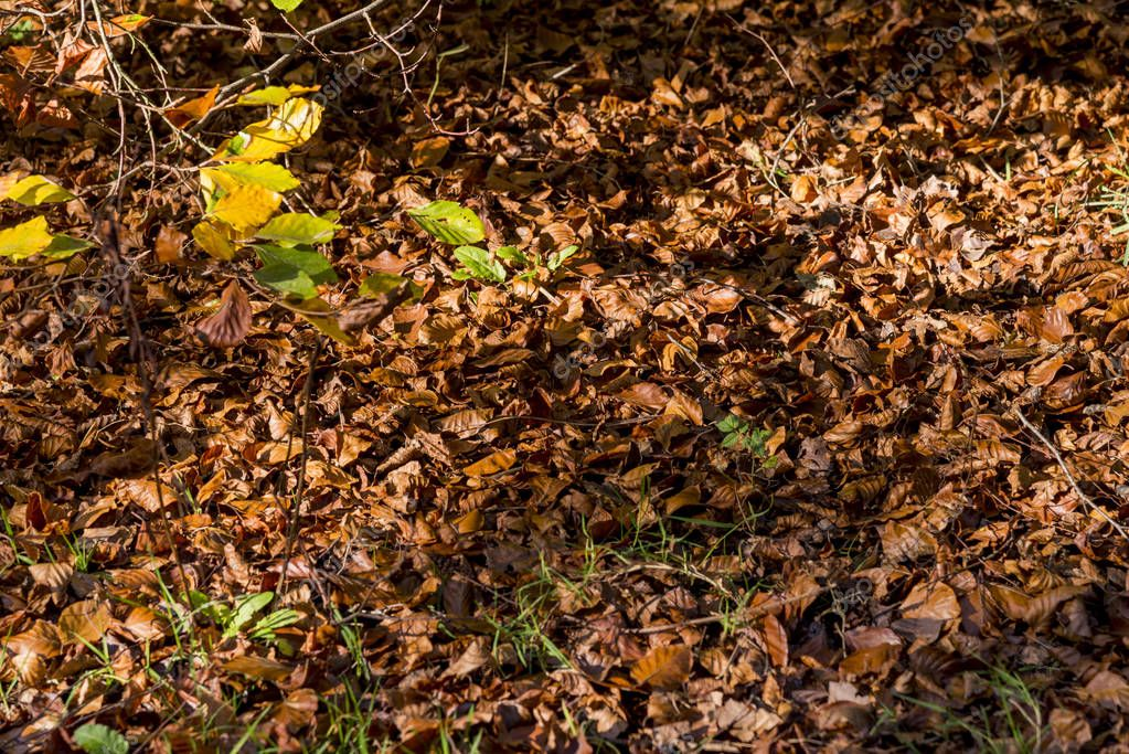 Autumn - Leavs Background in Forest - Savernake Forest - England's larger forest - Wiltshire, United Kingdom