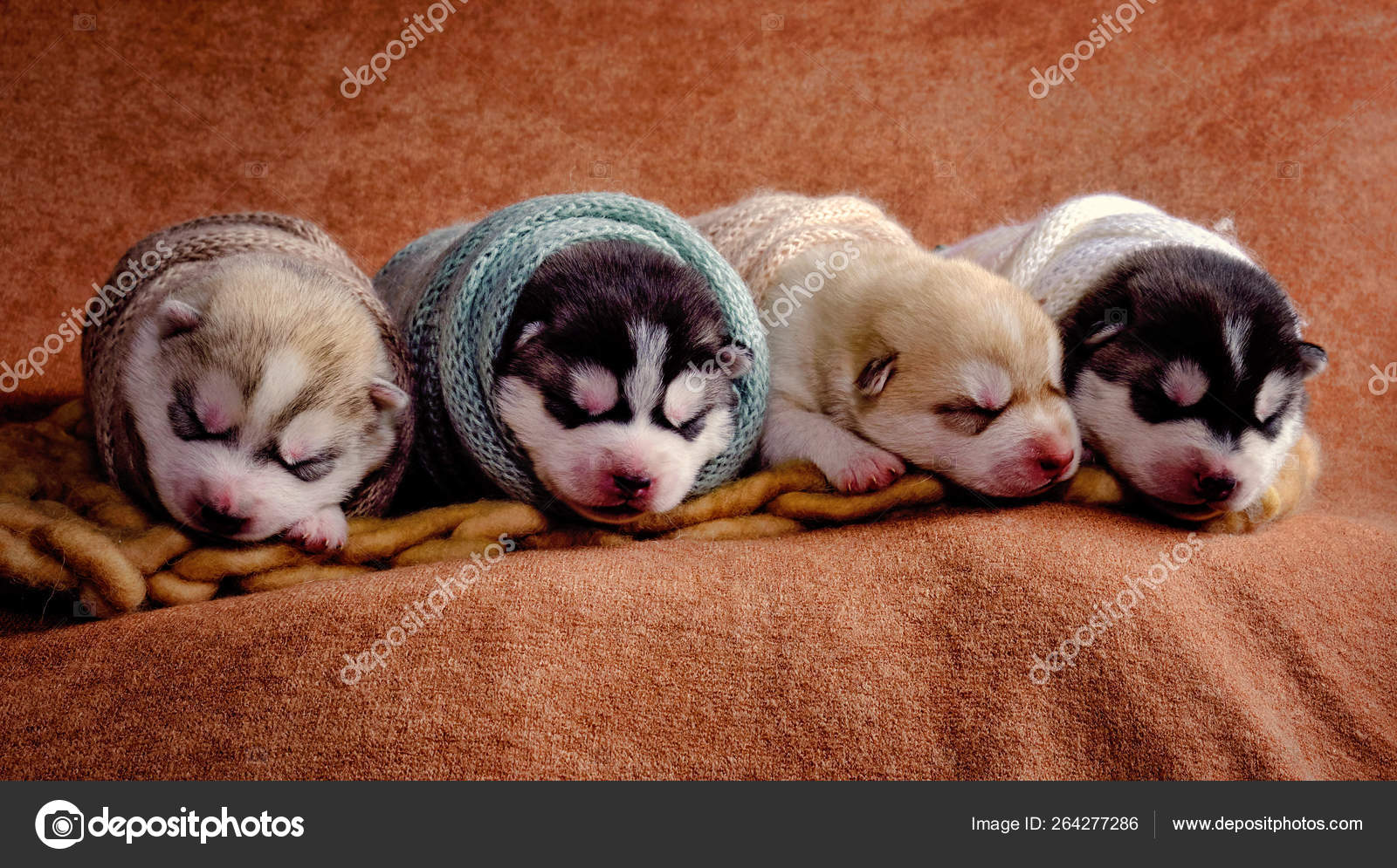 Newborn Siberian Husky Puppies Shot Newborn Style Stock