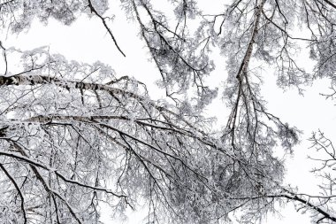 bottom view of snow-covered crowns of birch trees in forest of Timiryazevskiy park of Moscow city in overcast winter day