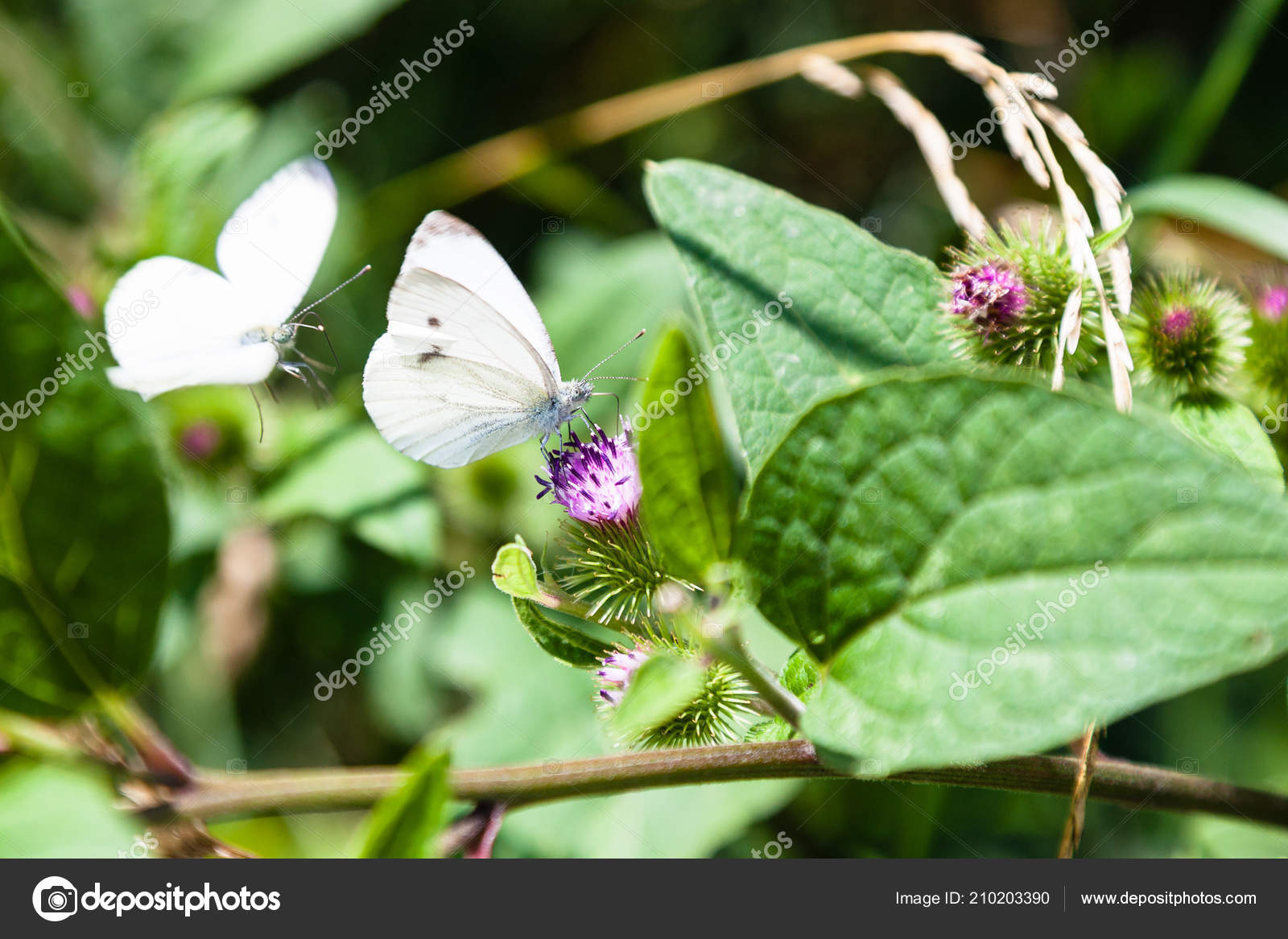 Large White Butterflies Flowers Greater Burdock Plant Timiryazevskiy