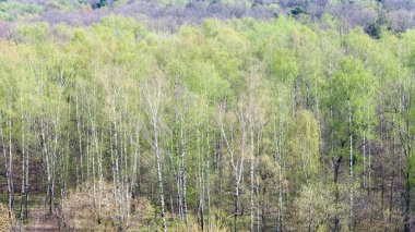 birch grove in forest with first green foliage