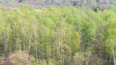 birch trees with first green leaves in forest