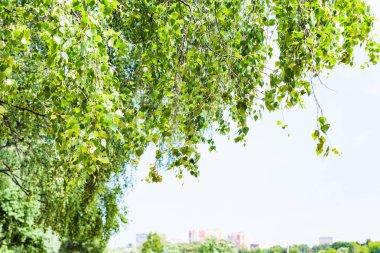 green leaves of birch tree in city and blue sky