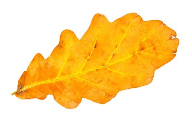 fallen yellow and brown oak leaf isolated