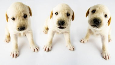 Cute adorable labrador retriever puppies on white background. Young friendly dogs waiting for new home.