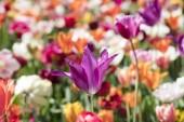 Virágzó színes tulipán virágoskert napsütés alatt.