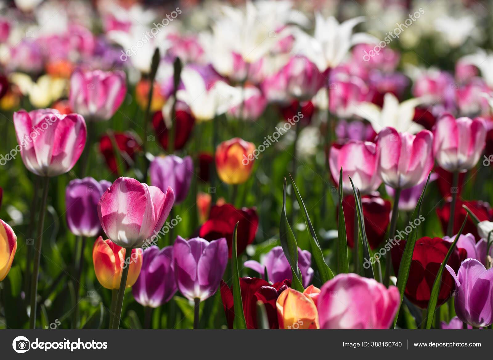 Bunga Tulip Mekar Berwarna Warni Taman Bunga Bawah Sinar Matahari Stok Foto C Zolnierek 388150740