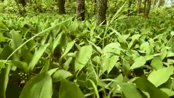 Camera wiring through large, green lily of the valley leaves. Visible flowers and trees. Small flies fly apart. The beauty and aroma of nature. Atmospheric video.