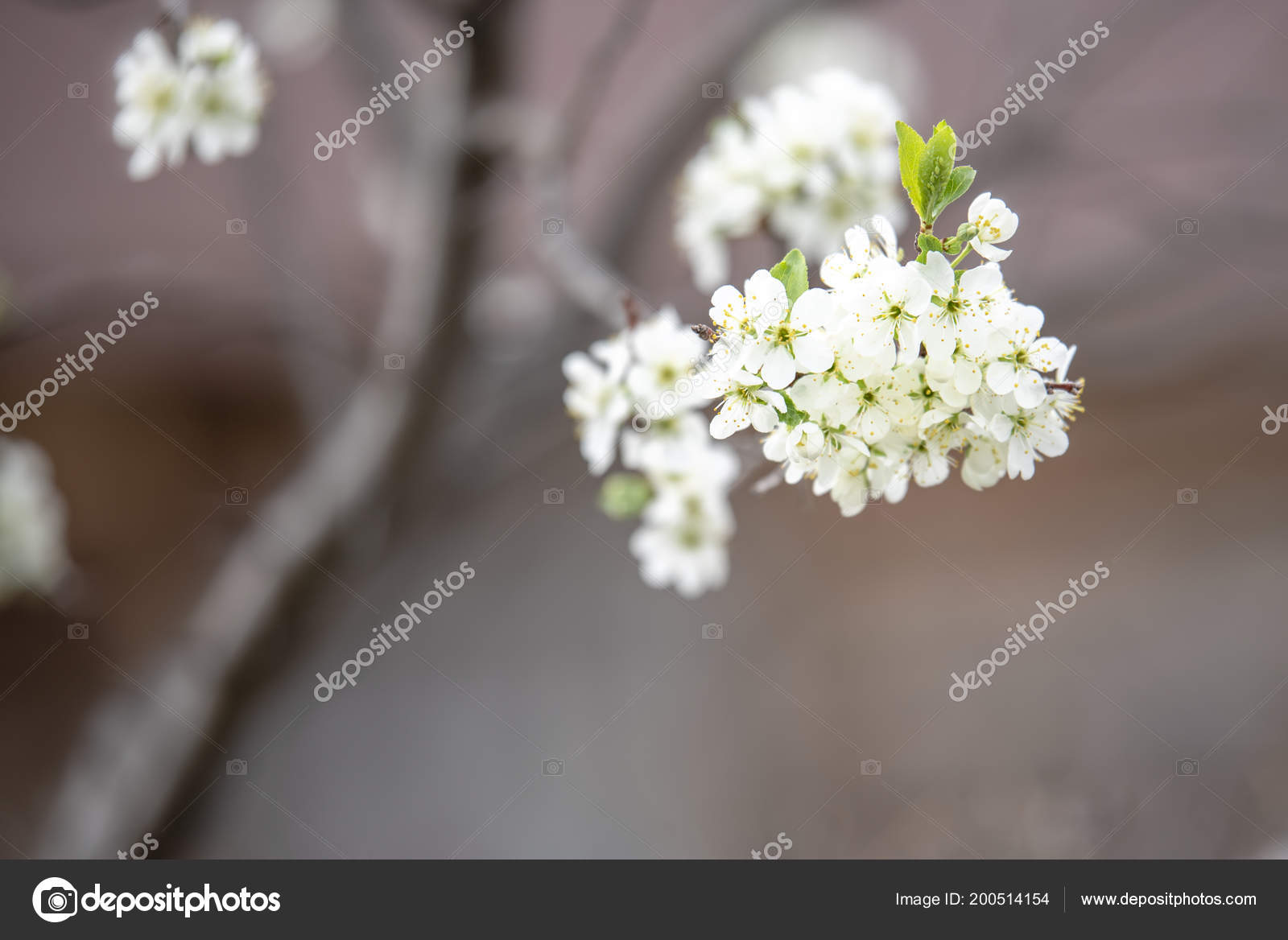 Beautiful white spring flowers of a flowering tree stok foto beautiful white spring flowers of a flowering tree on a branch manhattan001 fotoraf mightylinksfo