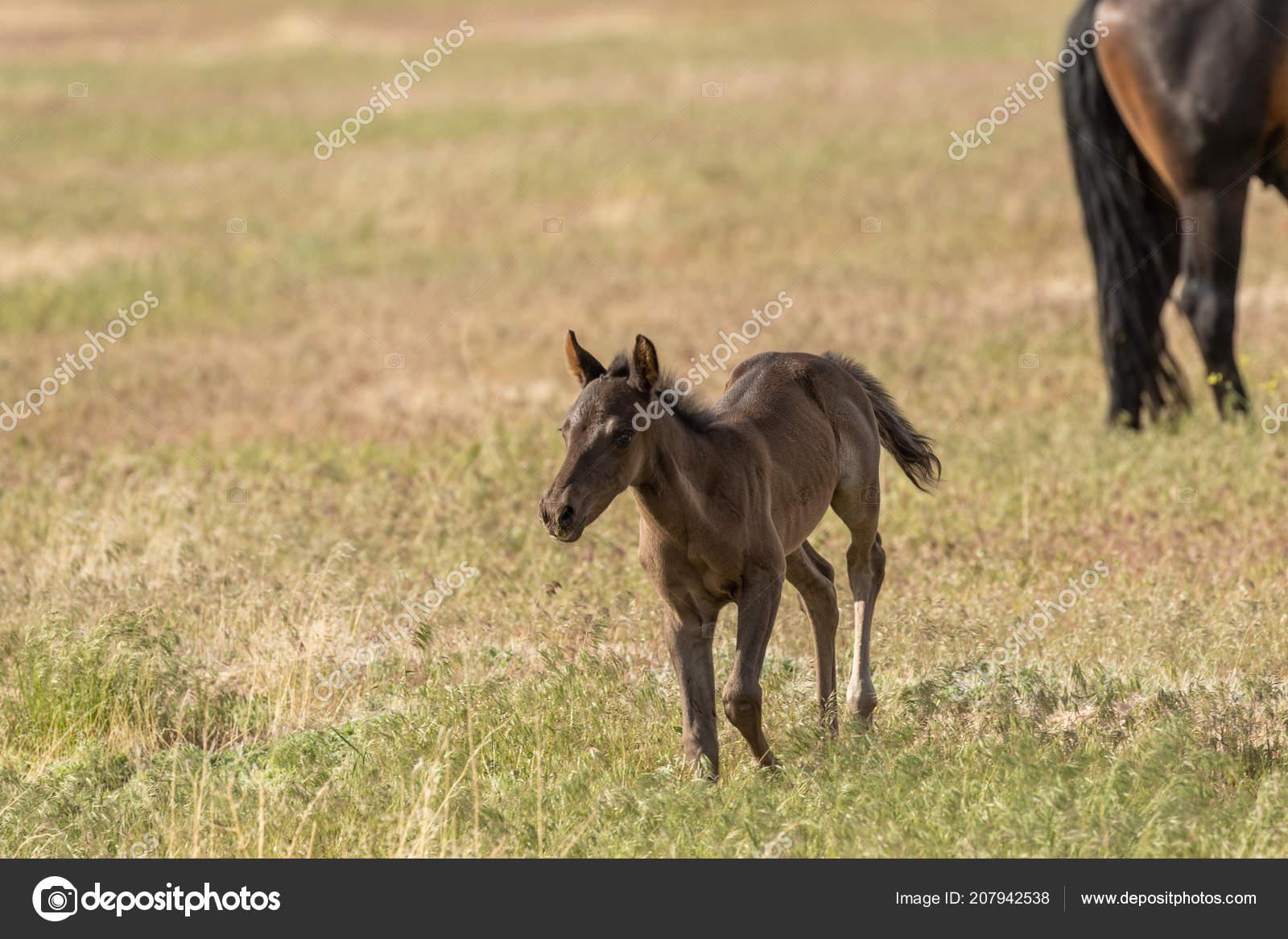 Potro Lindo Cavalo Selvagem Deserto Utah Stock Photo