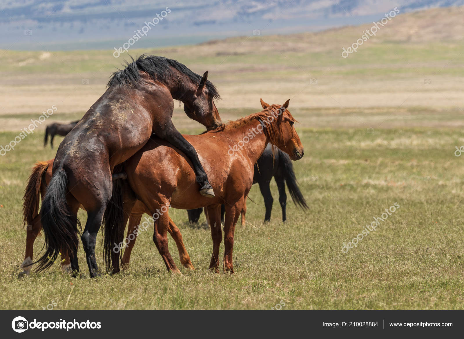 Wild Horses Mating Utah Desert — Stock Photo © twildlife