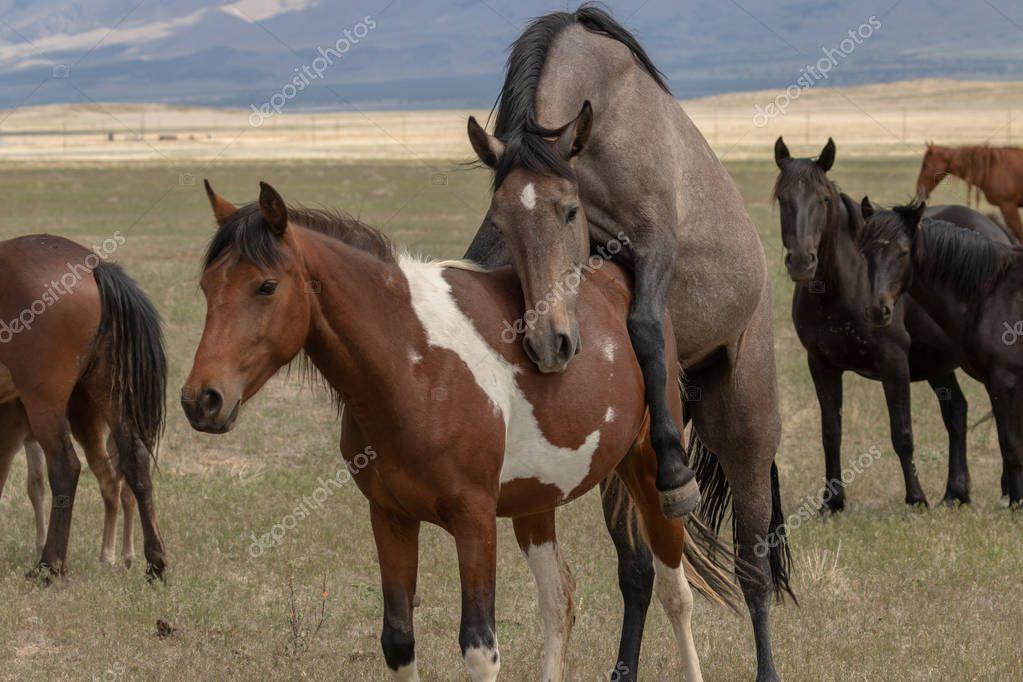 wild horses mating in the Utah desert