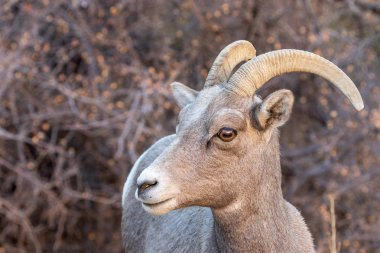 a desert bighorn sheep ewe in Zion National Park Utah