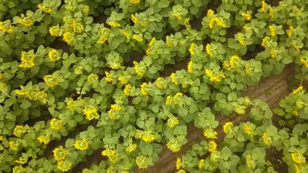 4k letecké. Létat se s otočením nad polem žlutý květ slunečnice. Pohled shora
