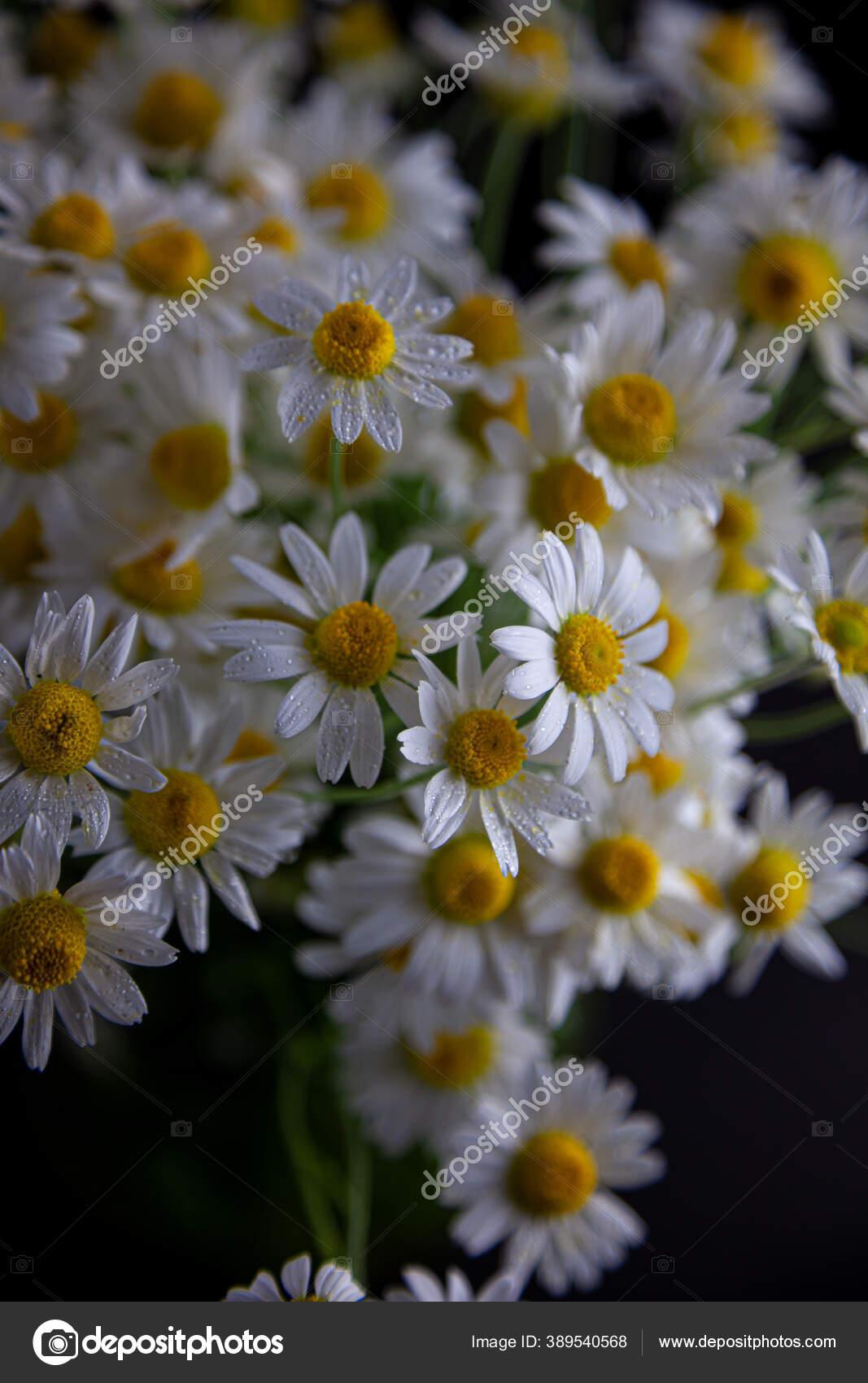 Bouquet Bunga Aster Dalam Vas Pada Latar Belakang Hitam Bidang Stok Foto C Alla Greeg Ukr Net 389540568