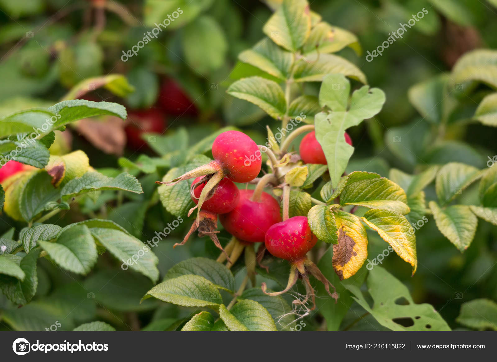 rosa rugosa healthly food close stock photo devon 210115022
