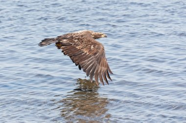 flying young bald eagle