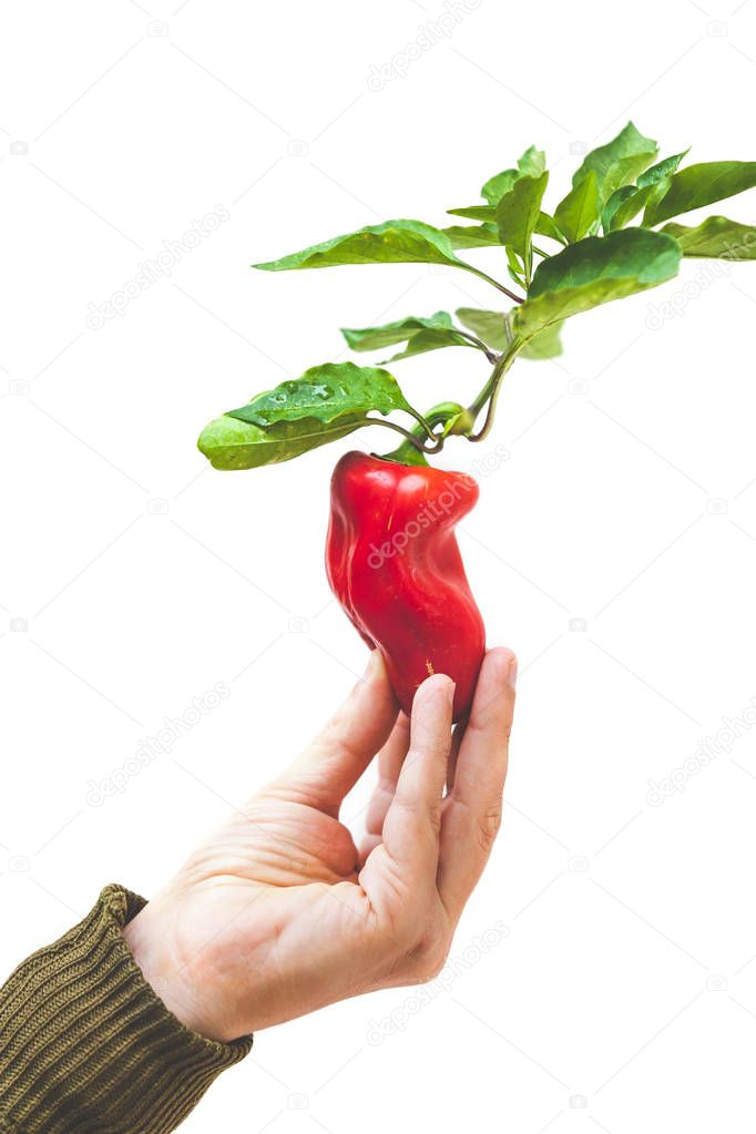 Harvesting. Hand holding a red bell pepper on a branch with green leaves on a white backgroun