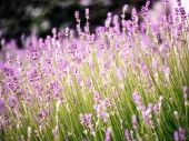 Scented lavender flowers in Provence field i