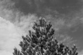 Jedle borovice s bloom kužely