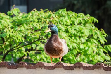 Beautiful mallard duck posing