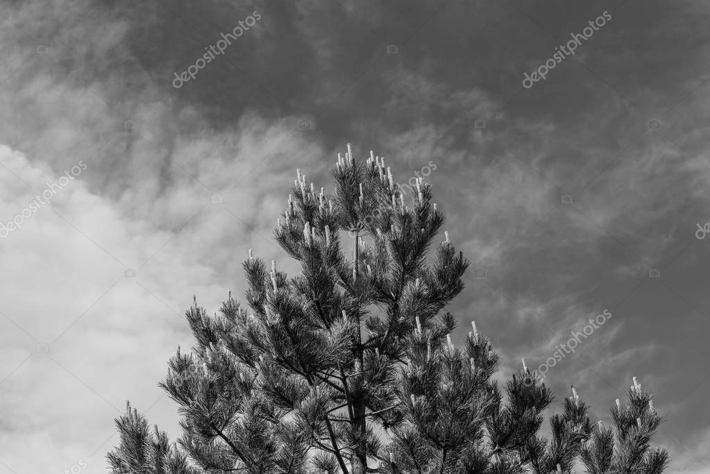 Pine fir tree with bloom cones