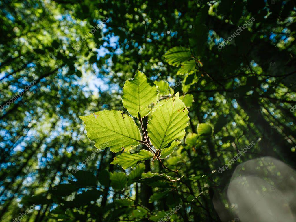 Poplar tree view from below in green forest