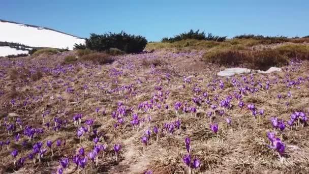 Jarní Ocún v plném květu. Colchicum parnassicum fialové květy. Jarní květiny v horách. Bulbocodium vernum