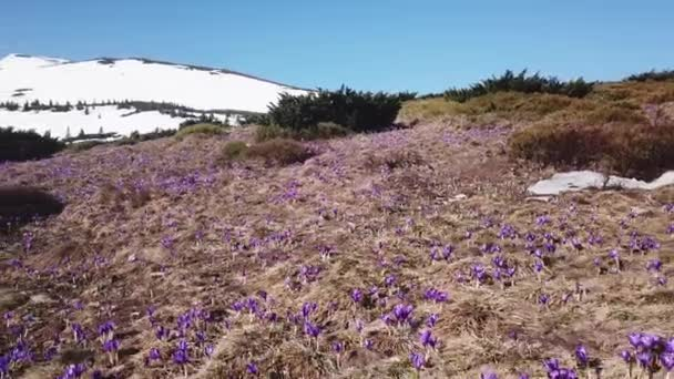 Spring Colchicum in full bloom. Colchicum parnassicum purple flowers. Spring flowers in mountain.
