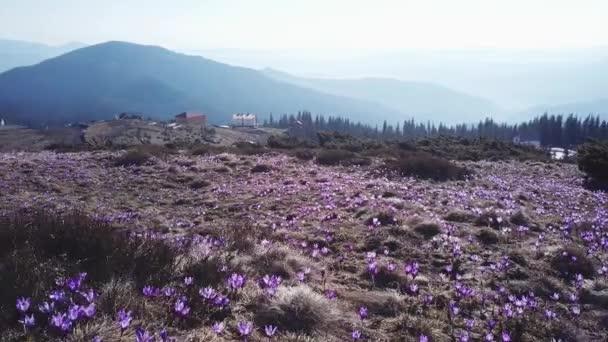 Jarní Ocún v plném květu. Colchicum parnassicum fialové květy. Jarní květiny v horských.