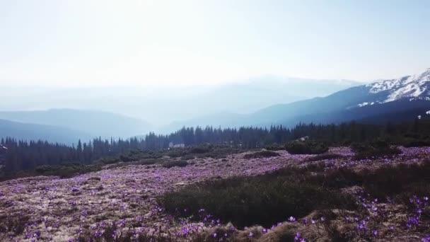 Jarní Ocún v plném květu. Colchicum parnassicum fialové květy. Jarní květiny v horských