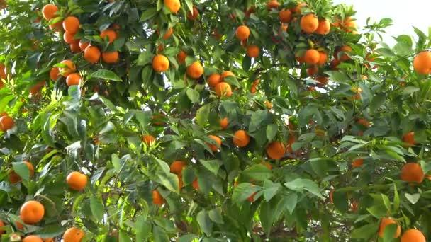 Obrázek ze zralých citronů v zahradě. Zralé lípami na citrusové plantáže